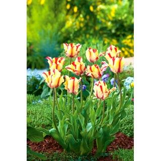 Tulipan Flaming Parrot - duża paczka! - 50 szt.