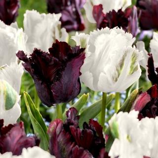 Tulipan Papuzi Black&White - zestaw 2 odmian - 50 szt.