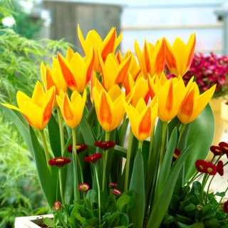 Tulipan Giuseppe Verdi - duża paczka! - 50 szt.