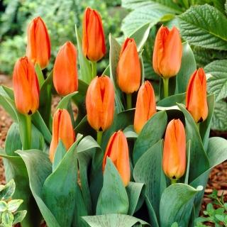 Tulipan niski pomarańczowy - Greigii orange - duża paczka! - 50 szt.