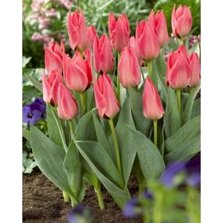 Tulipan niski różowy - Greigii pink - duża paczka! - 50 szt.