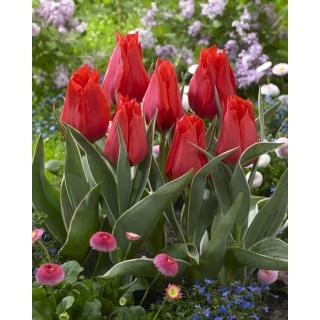 Tulipan niski czerwony - Greigii red - duża paczka! - 50 szt.
