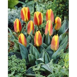 Tulipan niski czerwono-żółty - Greigii red-yellow - duża paczka! - 50 szt.