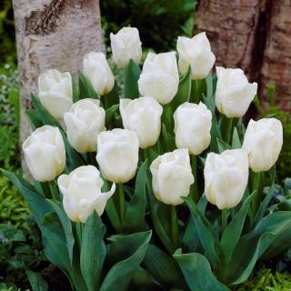 Tulipan niski biały - Greigii white - duża paczka! - 50 szt.