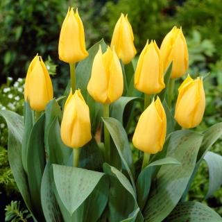 Tulipan niski żółty - Greigii yellow - duża paczka! - 50 szt.