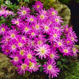Zawilec grecki - Violet Star - duża paczka! - 80szt.