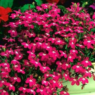 Lobelia Rosamond - purpurowa