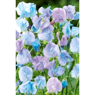 Groszek pachnący jasnoniebieski