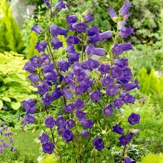 Dzwonek ogrodowy - niebieski