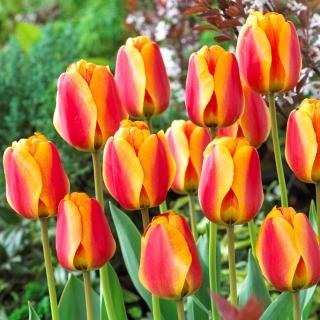 Tulipan czerwono-żółty - Red-yellow - duża paczka! - 50 szt.