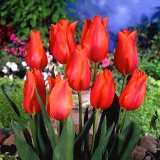 Tulipan Temple of Beauty - duża paczka! - 50 szt.