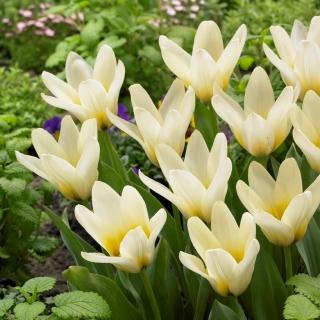 Tulipan niski - Concerto - duża paczka! - 50 szt.