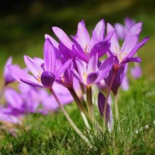 Zimowit - Violet Queen - duża paczka! - 10 szt.