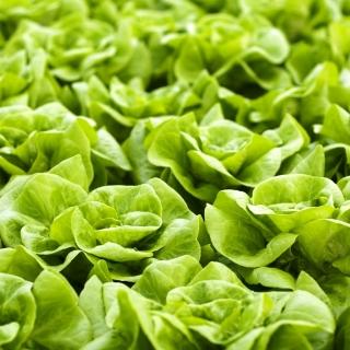 Sałata Królowa majowych - masłowa - NANO-GRO - 30% większe zbiory