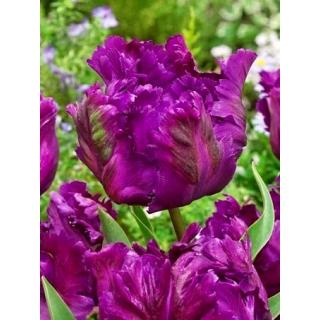 Tulipan Negrita Parrot - duża paczka! - 50 szt.