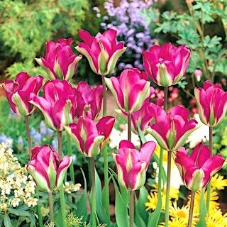 Tulipan Violet Bird - duża paczka! - 50 szt.