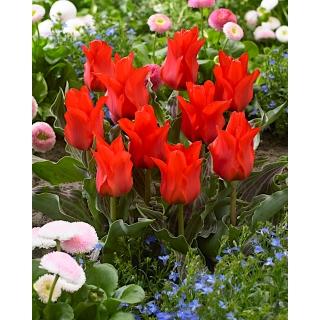 Tulipan Red Riding Hood - duża paczka! - 50 szt.