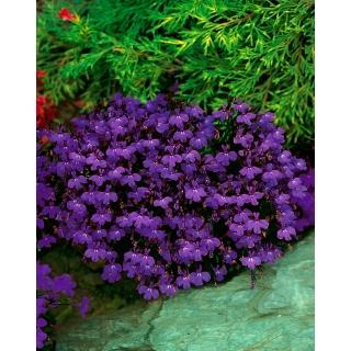 Lobelia przylądkowa fioletowa - Stroiczka