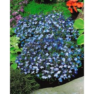 Lobelia przylądkowa jasnoniebieska - Stroiczka