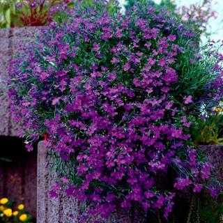 Lobelia zwisła fioletowa