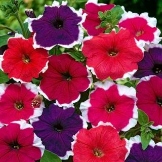 Petunia ogrodowa Iluzja - mieszanka kolorów