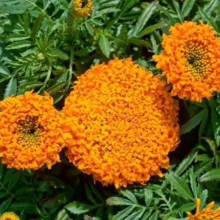 Aksamitka Pollux Orange - wzniesiona