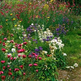 Łąka kwiatowa Eden - mieszanka kwiatów o szerokiej palecie barw - 250 gram