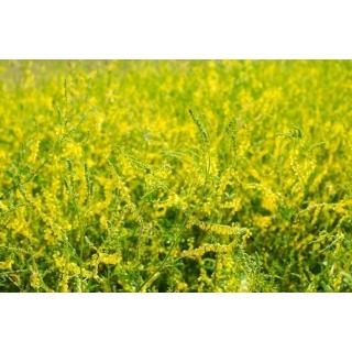 Nostrzyk lekarski żółty - roślina miododajna - 100 gram