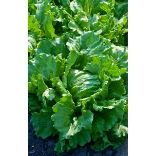 Sałata Antard - krucha, całoroczna - 5 tys. nasion - nasiona profesjonalne dla każdego