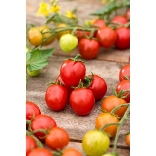 Pomidor Curranto F1 - 250 nasion - nasiona profesjonalne dla każdego