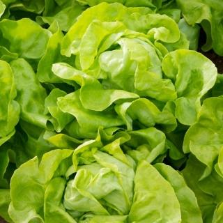 Sałata Alamer - masłowa, wiosenna i jesienna - 5 tys. nasion - nasiona profesjonalne dla każdego