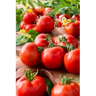 Pomidor Gallant F1 - 250 nasion - nasiona profesjonalne dla każdego