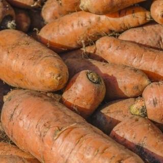 Marchew pastewna Krystyna - 100 g