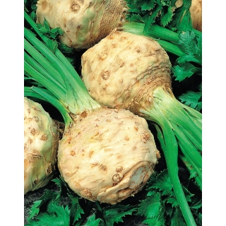 Seler korzeniowy Albin - 2500 nasion - nasiona profesjonalne dla każdego