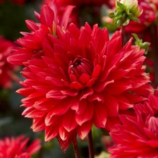 Dalia - Garden Wonder