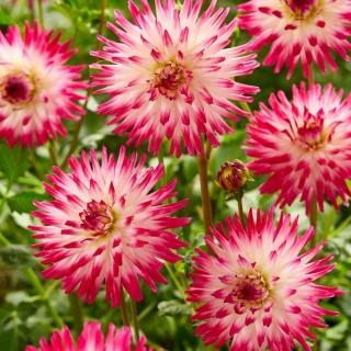 Dalia - Hayley Jane - kaktusowa