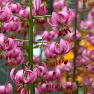 Lilia złotogłów różowa - Pink