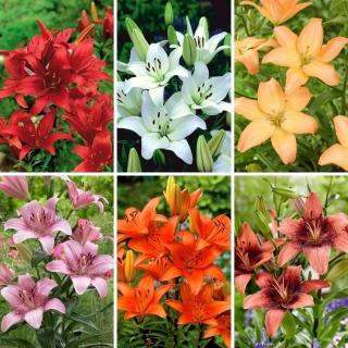 Zestaw M - 6 cebul lilii azjatyckiej, kolekcja najpiękniejszych odmian