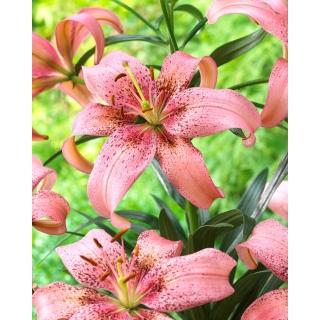 Lilia azjatycka - Morpho Pink