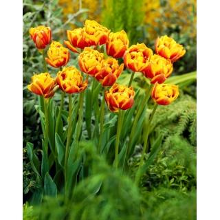 Tulipan Bonanza - 50 szt.