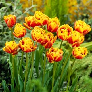 Tulipan Bonanza - 5 szt.