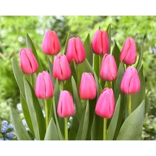 Tulipan Big Love - 5 szt.