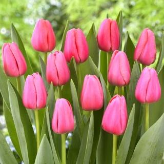 Tulipan Big Love - 50 szt.