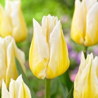 Tulipan Flaming Agrass - 5 szt.