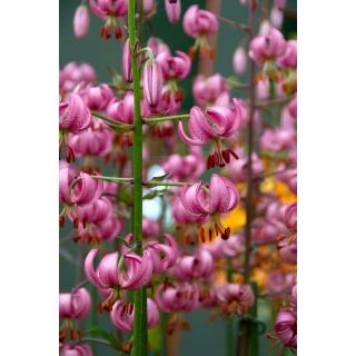 Lilia złotogłów różowa - Pink - duża paczka! - 10 szt.