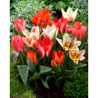 Tulipan niski mix - Greigii mix - 5 szt.
