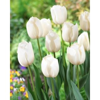 Tulipan biały - White - 5 szt.