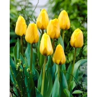 Tulipan Golden Apeldoorn - opak. 5 szt.