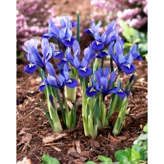 Irys żyłkowany - Iris reticulata - opak. 10 szt.