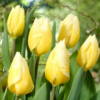Tulipan Sweetheart - duża paczka! - 50 szt.